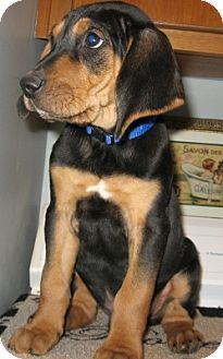 our black and tan coonhound/lab mix puppy! | must love ... American Black And Tan Coonhound Puppies