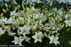 Versoja Vaahteramäeltä White Flowers, Garden, Plants, Garten, Gardens, Planters, Tuin, Plant, Planting