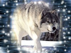 Wild-Wolf-Screensaver.jpg (1024×768)