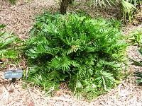 Coontie has a history dating back to the Native Indians, and is a Florida Friendly plant.  Its an excellent choice as a low-maintenance landscape plant for coastal Florida.