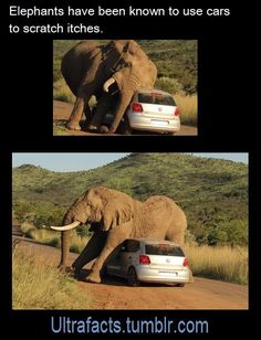 facts Elephants are awesome! Have some elephant facts!Elephants are awesome! Have some elephant facts! Funny Animal Memes, Funny Animal Pictures, Cute Funny Animals, Elephant Facts, Elephant Love, Animals And Pets, Baby Animals, Baby Hippo, Wild Animals