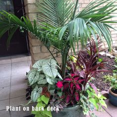 Majesty Palm surrrounded by chocolate cherry coleus, calladiums, sweet potato vine and assorted varieties Outdoor Planters, Garden Planters, Outdoor Gardens, Pool Plants, Indoor Plants, Container Plants, Container Gardening, Majesty Palm, Lawn And Garden
