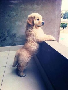 Golden Retriever pup ... Too sweet for words