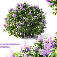 3d Lilac Flowering Plant Model 385 Free Download By Leo Nguyen 3d Wall Decor, The Slate, Free Plants, Planting Flowers, Lilac, Leo, Model, Lion