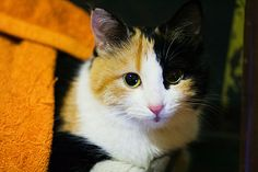 Calico (do you know all of triple colored calico cats are female?)