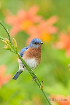Eastern Bluebird in Daylillies
