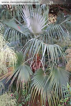 """""""3) brahea nitida, has glossy dark green leaves with white undersides and purple petioles. This is a must have in any palm garden. Grows well in the shade. """""""