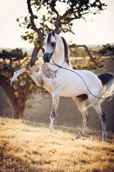#horses   Arabian  Om El Bellisimo