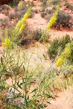More flora.  Desert prince's plume.