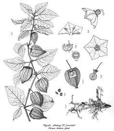 Chinese Lantern Plant (Ink drawing)