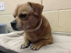 PLEDGES AND RESCUE NEEDED! HE IS LIMPING ON THE RIGHT REAR LEG. A4804030 I don't have a name yet and I'm an approximately 3 year old male pug. I am not yet neutered. I have been at the Downey Animal Care Center since February 27, 2015. I will be available on March 3, 2015. You can visit me at my temporary home at D714. https://www.facebook.com/photo.php?fbid=825555924191408&set=pb.100002110236304.-2207520000.1425247776.&type=3&theater