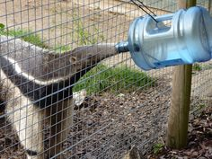Giant Anteater Enrichment Animal Shelter, Animal Rescue, Zoo Animals, Cute Animals, Zoo Architecture, Giant Anteater, Zoo Toys, Enrichment Activities, Animal Nutrition