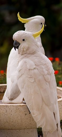 About Wild Animals: Picture of two sulphur crested cockatoo Most Beautiful Birds, Pretty Birds, Animals Beautiful, Animals Amazing, Kinds Of Birds, All Birds, Exotic Birds, Colorful Birds, Animals And Pets