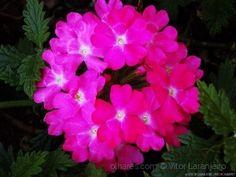 Flores do Meu Jardim..