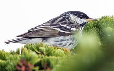 Blackpoll warbler songbird, which weighs 4.2 ounces, can fly 1700 miles non-stop from New England to South America