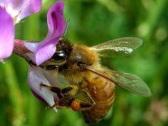 ゲンゲ・セイヨウミツバチ