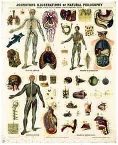 McGregor Museum » vintage human anatomy chart