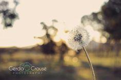Dandelion in the sunlight Sunlight, Dandelion, Flowers, Plants, Photography, Photograph, Sun Light, Dandelions, Florals