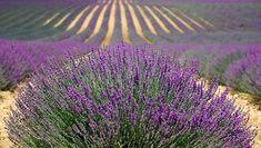 Lavendel, Lavendelfeld