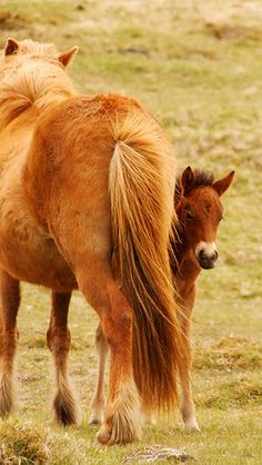Icelandic Horse and Colt
