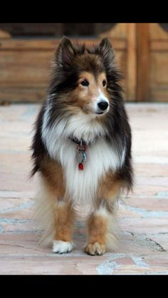 ~ THIS IS THE CUTEST SENIOR SHELTIE I'VE EVER SEEN ~