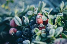 zils, sarkans, violets, dzērvenes, brūklenes, mellenes, balts, ziema, daba, ogas, zariņš, sarma, ledus, aukstums, auksts,  ziemassvētki, ziemasvētki, noskaņa, svētki, blue, red, purple , cranberry, cranberries , blueberries , white , winter , nature, berries, twig , snow , ice , cold, cold , Christmas, on Christmas , mood , celebrations Anita Austvika
