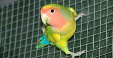 Inseparabile dal collo rosa - L'agapornis roseicollis è detto comunemente inseparabile dal collo rosa. E' l'agapornis maggiormente dimensionato dopo il taranta, attestandosi sui 15/16 cm. Parrot, Pink, Parrot Bird, Parrots