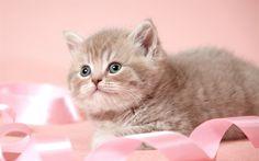 Lataa kuva Söpö kissanpentu, furry harmaa kissanpentu, söpöjä eläimiä, lemmikit, vaaleanpunainen nauha, Kissat