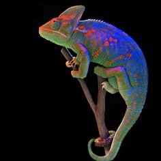 Reptile Exotic Veiled Chameleon Reptiles Veiled Chameleons With Exotic Colours Veiled Chameleon, Chameleon Lizard, Karma Chameleon, Chameleon Color, Les Reptiles, Reptiles And Amphibians, Beautiful Creatures, Animals Beautiful, Cute Animals
