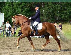 Finnhorse stallion Pilven Poika