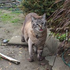 This cat wanders our neighborhood, he's cross-eyed and fat. Caught him being a derp.