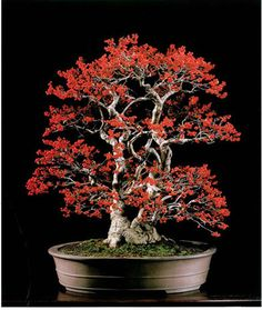 Ume-modoki (a type holly)  (a type holly) Ilex serrata   Triple trunk 100 years, 26 inches(65 cm)