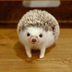 ハリネズミを飼いましょう Cute Funny Animals, Cute Baby Animals, Animals And Pets, Cute Dogs, Cute Babies, Dou Dou, Lily Painting, Baby Hedgehog, Baby Goats
