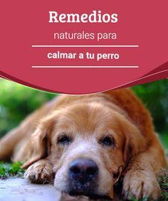 Remedios naturales para calmar a tu perro  Descubre los mejores remedios naturales para calmar a tu perro y lograr que ambos tengáis una vida tranquila y pacífica en arnomía. #remedios #naturales #calmar #salud