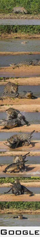 Cheeta vs Aligator