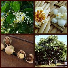 ∆ Tamanu Oil...Get to Know: Tamanu Oil (for Acne, Scars, Stretch Marks, Scabies, Burns, Athlete's Foot …)