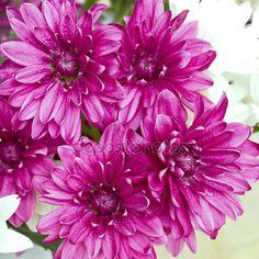 depositphotos_39439017-Fresh-chrysanthemums-flowers.jpg (450×450)