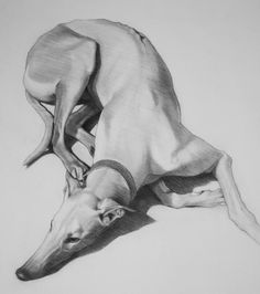 thomas dang vu lucky the greyhound Greyhound Art, Italian Greyhound, Animal Drawings, Art Drawings, Lurcher, Grey Hound Dog, Dog Paintings, Jolie Photo, Dog Portraits