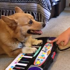 One day, I will become a piano master : Funny Dog Memes, Funny Animal Memes, Cute Funny Animals, Cute Baby Animals, Funny Dogs, Animals And Pets, Cute Cats, Cute Animal Videos, My Animal