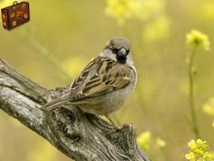 House Sparrow, Seville, Andalusia #travel #housesparrow  http://www.travelwallpaper.net/p/europe/spain/page-1.html
