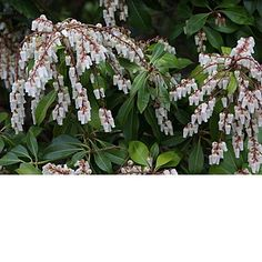 Pieris japonica - Lily of the Valley Bush