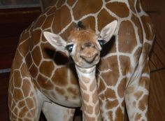 Smiling Baby Giraffe for Tiffany.  Thank you, @Shelly Smith Lohman!
