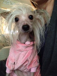 Chinese crested chacha