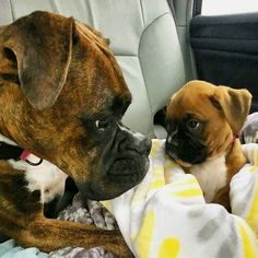 Boxer Tips boxer puppies - Dogs Boxer Dog Puppy, Boxer Breed, Boxer Mom, Boxer And Baby, Cute Puppies, Cute Dogs, Dogs And Puppies, Doggies, Beagle Puppies