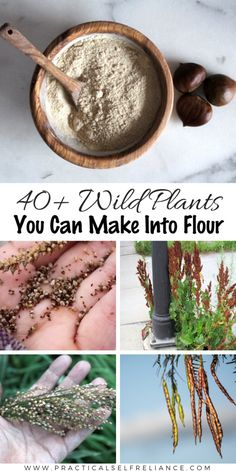 Wild Plants You Can Make into Flour: Flour made from wild plants existed long before agriculture, and many of them have a lot more flavor and nutrition than store-bought flour. # Wild Plants You Can Make into Flour Agriculture, Edible Wild Plants, Wild Edibles, Survival Food, Survival Skills, Survival Hacks, Medicinal Plants, Food Storage, Food Hacks
