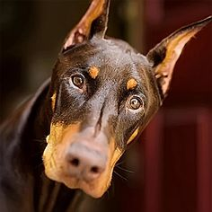 The Doberman Pinscher is among the most popular breed of dogs in the world. Known for its intelligence and loyalty, the Pinscher is both a police- favorite Cross Paintings, Dog Paintings, Doberman Pinscher, King Charles Spaniel, Cavalier King Charles, Photo Animaliere, Pointer Puppies, German Shorthaired Pointer, Hunting Dogs