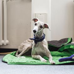 2,458 Followers, 186 Following, 268 Posts - See Instagram photos and videos from Tollak (@tollakthewhippet)