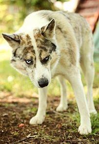 90 Best Agouti Husky Images Agouti Husky Siberian Huskies Doggies