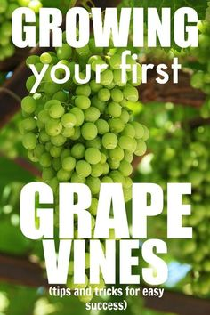 Grape vines are some of the easiest, most rewarding plants that you can grow! Perfect for beginner gardeners! Grape Vines, Gardening For Beginners, Wine, Canning, Fruit, Plants, Gardening For Dummies, Vineyard Vines, Vines