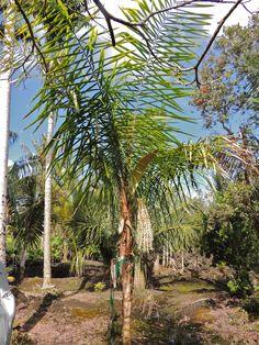 Syagrus smithii Marcus garden, Hawaii